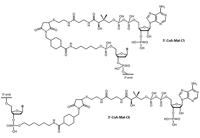 Coenzyme A at the 3´- or 5´-end of an oligonucleotide